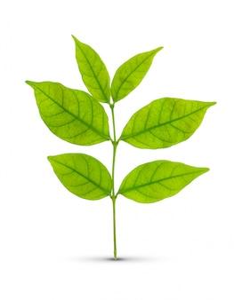 分離された緑の葉
