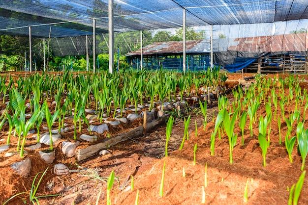 Молодые кокосовые небольшие деревья. препараты для таких сортов для посадки кокосовых пальм