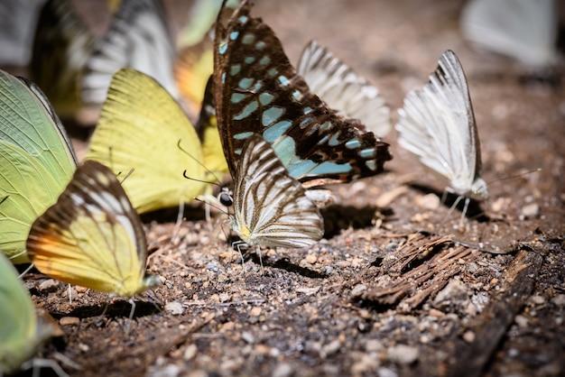 床に水を集める多くのピエラ科の蝶、蝶は塩沼で鉱物を餌にしています