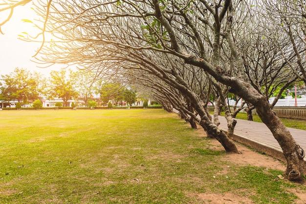 乾燥プルメリアの木やフランジパニの木のトンネル
