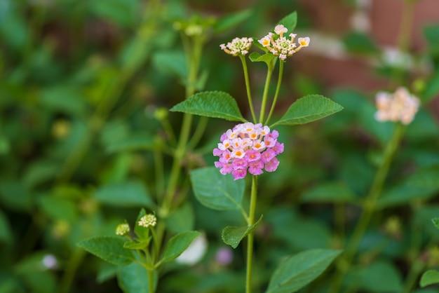 Крупный план розового и желтого и розового цветка