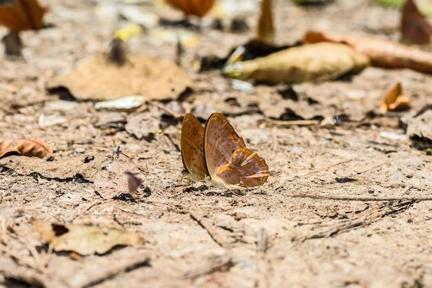 床の上に水を集める多くのピエラ科の蝶