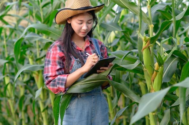 研究者または農夫が自分の畑でトウモロコシを検査