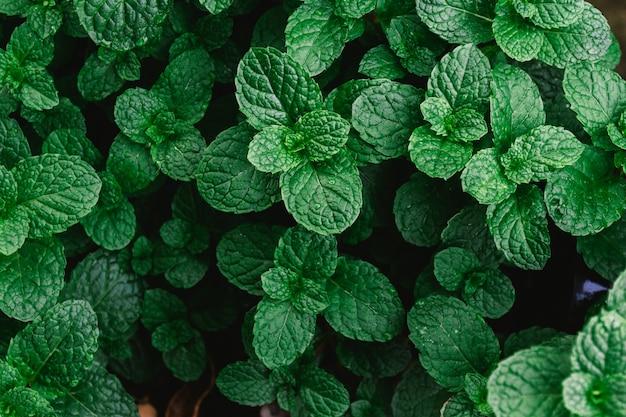 Натуральный зеленый фон листьев мяты