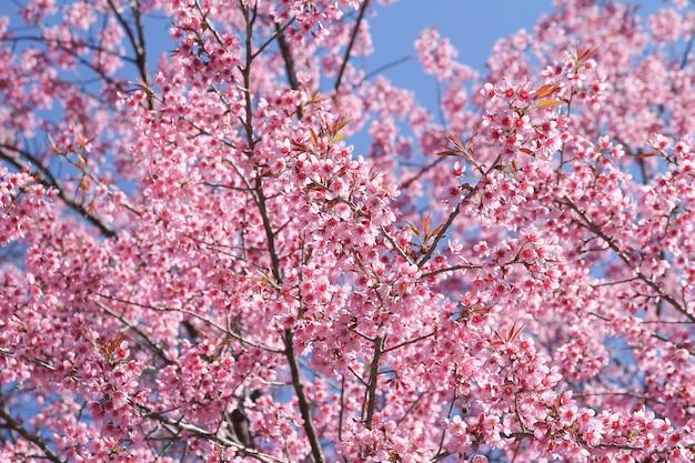 青い空を横切る野生のヒマラヤ桜の花の木または桜