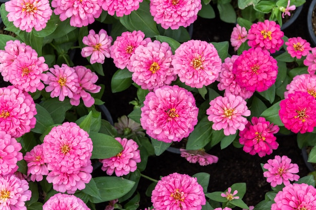 Красивый розовый фон цветы циннии