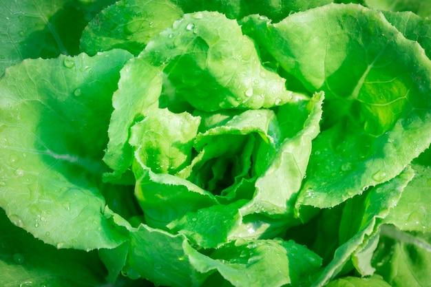 Масленый салат овощной растёт на участке