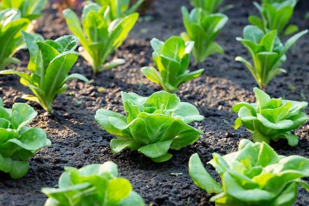 Зеленый салат на овощном участке
