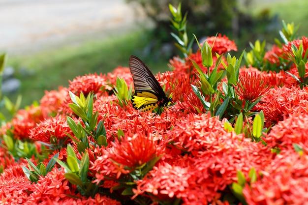 蝶の詳細自然とイクソラ