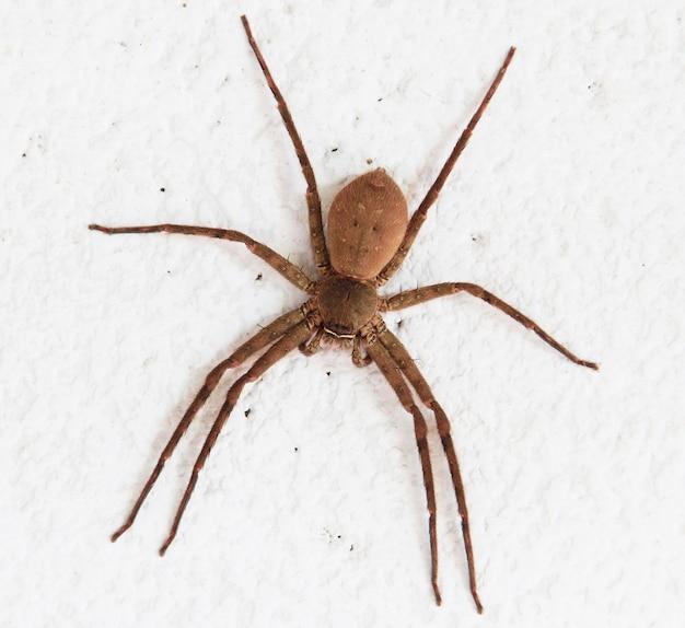 茶色のクモ