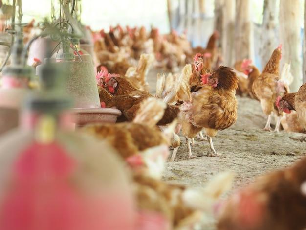 鶏、農場の鶏の卵。