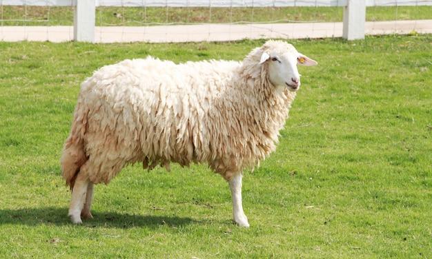 フィールド上の羊。