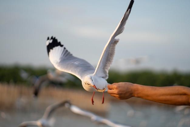 カモメが飛んで手から食べ物を食べます。