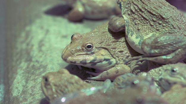 タイの養殖農場で多くのカエルを閉じる
