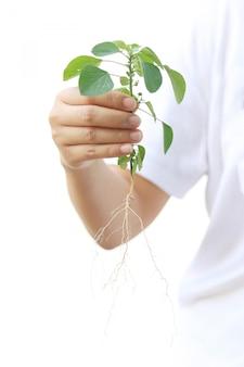 女性手は、根と緑の木の計画を保持します。