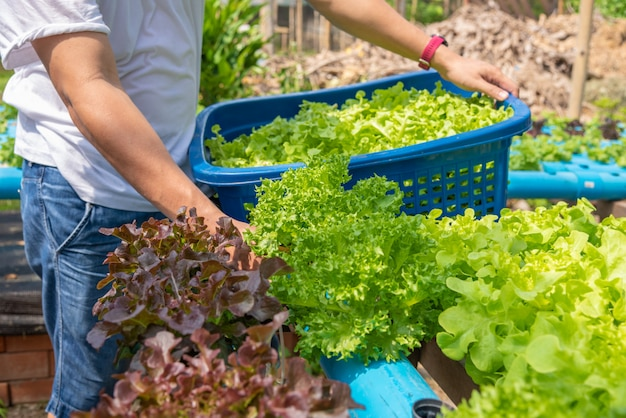 非毒性の水耕栽培野菜の収穫。水なしで植えられた土壌のない美しい木アジアスタイル。