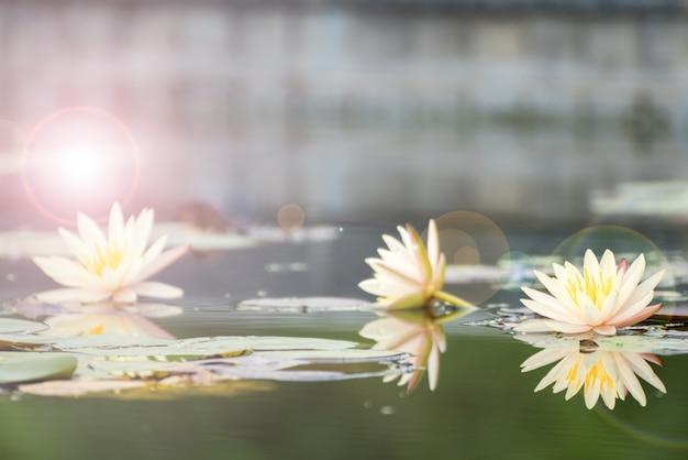 美しい蓮の花、池、仏のシンボル、タイ。