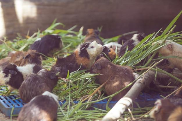 モルモットは草を食べています。