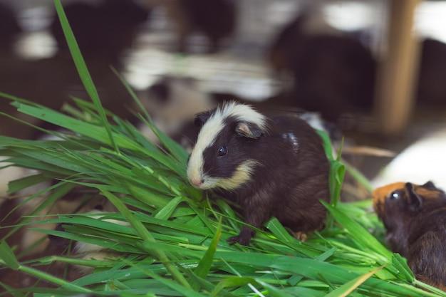 黒と白のかわいいモルモット、草を食べます。
