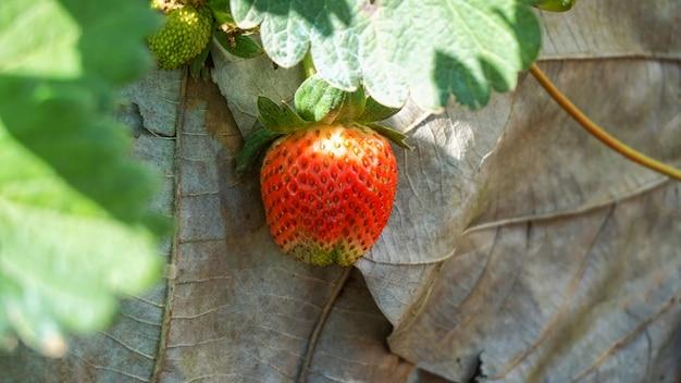 新鮮なイチゴの背景。庭の熟したイチゴのクローズアップ