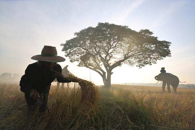 農民と田んぼで象のシルエット