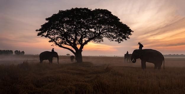 タイの田舎;スリンタイの夕日、象タイの背景にシルエット象。