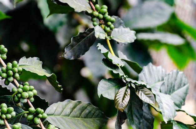 新鮮なコーヒーチェリーのコーヒーの木