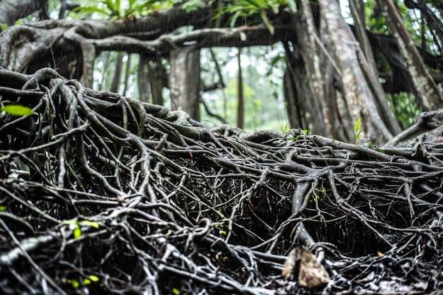 根の上のフォレストフーカスの巨大な木