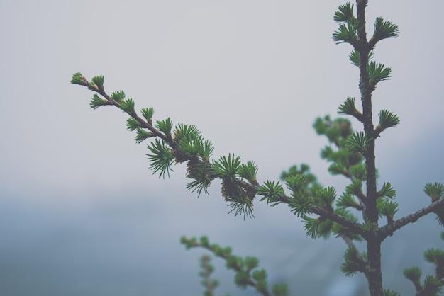 熱帯雨林の霧深い天候、冬の背景の松の木