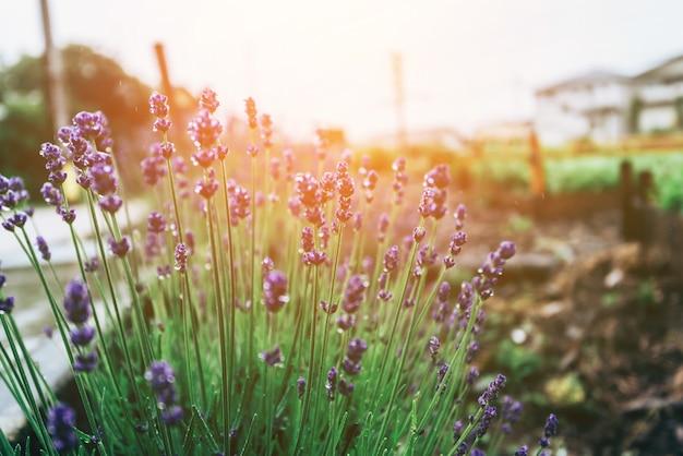 冬に咲くラベンダーの花の束