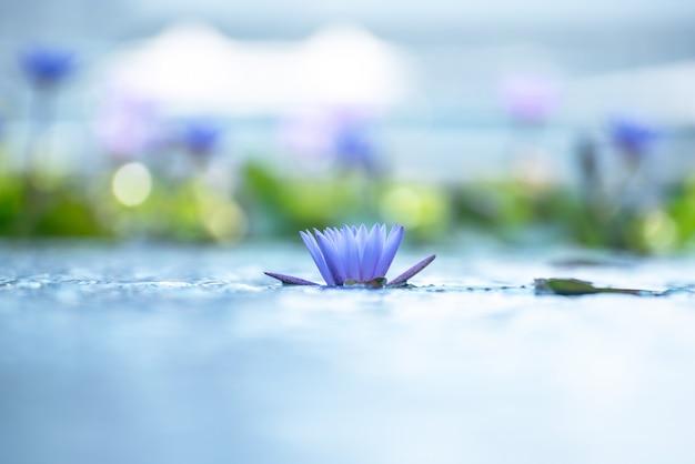 池の美しいスイレンまたはハスの花。