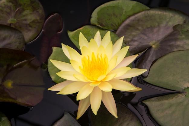 Цветок лотоса крупным планом