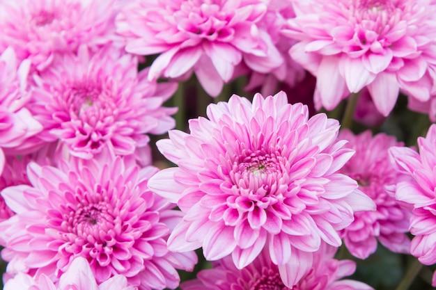 美しいピンクのダリアを閉じる