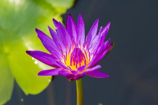 Цветок лотоса крупным планом, водяная лилия