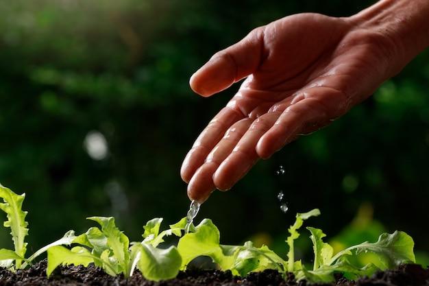 レタスに水をまく農家の手