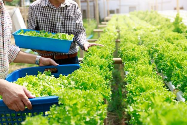 Ферма гидропоники, овощ урожая работника органический гидропонный овощ на саде фермы парника.