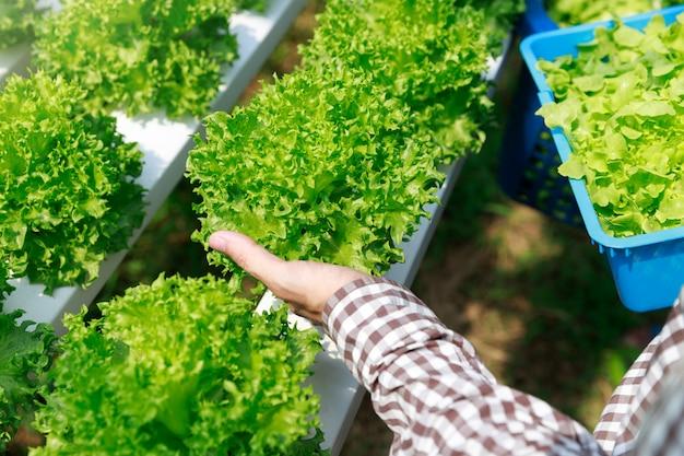 水耕栽培農場、温室の農場の庭で労働者収穫レタス有機水耕野菜。
