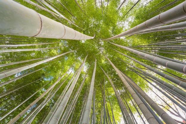 京都の朝の晴れやかな日差しの竹林の仰向き角度