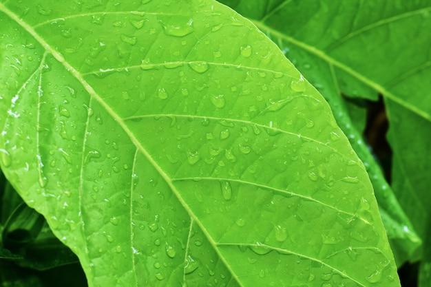 Капля воды на фоне зеленых листьев с рисунком поверхности, зеленые листья.