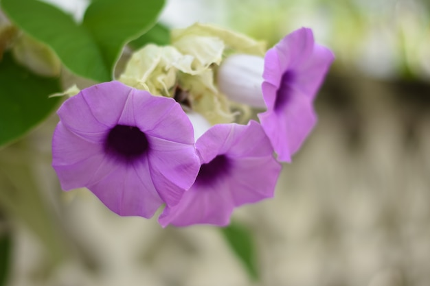紫色のルエリアトゥベロサの花が咲き、ルエリアトゥベロサの花が庭にある。
