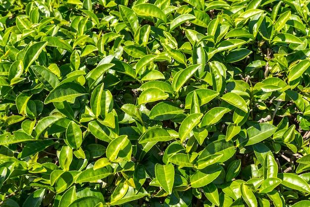 Чайные плантации в таиланде.