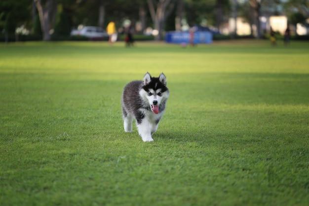 緑の芝生のシベリアの子犬。