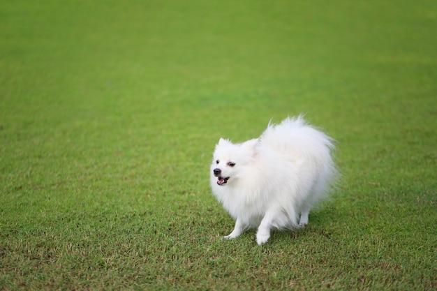 Белая померанская собака на зеленой лужайке.