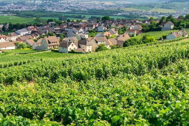 モンターニュ・ド・ランスの田舎の村でシャンパンブドウ畑で行つるブドウ