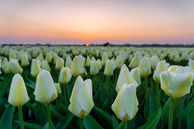 夕焼け空の下で春にオランダの美しいチューリップ畑