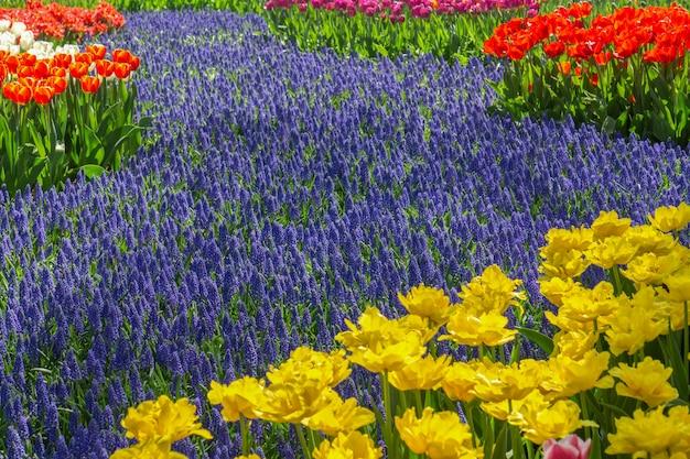 チューリップ祭、アムステルダム、オランダの間に公園でカラフルな咲くチューリップフィールド