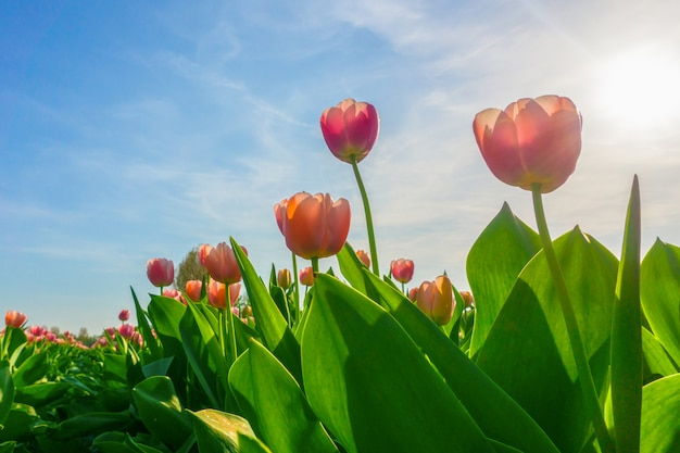 日の出の空、アムステルダム、オランダの下で春にオランダの美しいチューリップ畑