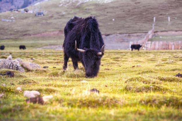 ラダックの緑の芝生を食べるヤク