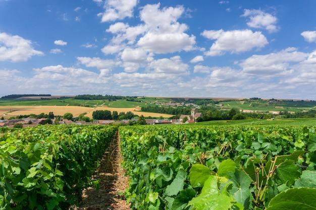 シャンパンのブドウ園の行ブドウ