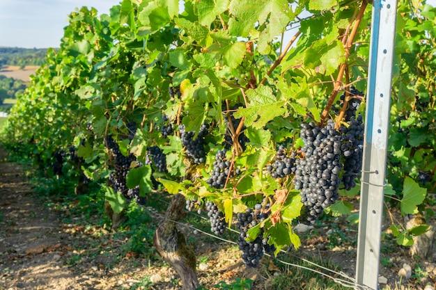 モンターニュ・ド・ランスのシャンパーニュのブドウ畑